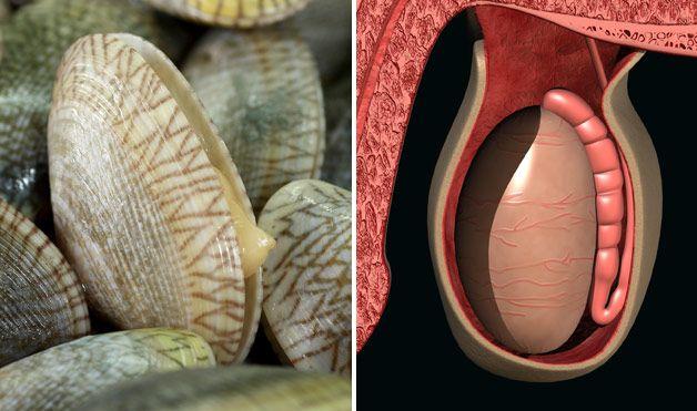 Kokkels testikels