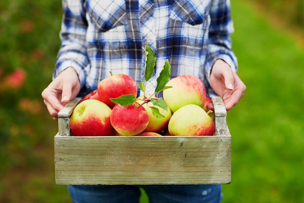 Biologische appels bevatten meer bacteriesoorten